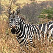 Zebra In Serengeti Poster