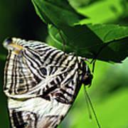 Zebra Long-wing Butterfly  Poster