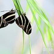 Zebra Longwing Butterflies Mating Poster