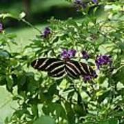 Zebra Longwing Butterfly On Flower Poster
