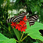 Zebra Longwing Ins 39 Poster