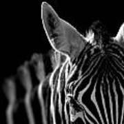 Portrait Of Zebra In Black And White Poster