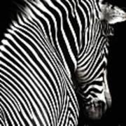 Zebra On Black Poster