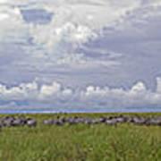 Zebra Panorama - 12x64 Poster