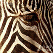 Zebra Patterns Poster