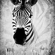 Zebra Profile In Bw Poster
