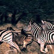 Zebra Stampede Poster