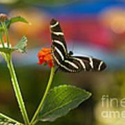 Zebra Striped Butterflies Poster by Cari Gesch