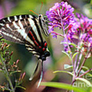 Zebra Swallowtail Butterfly At Butterfly Bush Poster