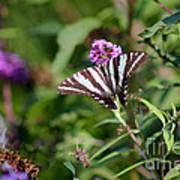 Zebra Swallowtail Butterfly In Garden Poster