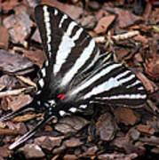 Zebra Swallowtail Butterfly Poster
