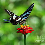 Zebra Swallowtail Butterfly On A Red Zinnia Poster