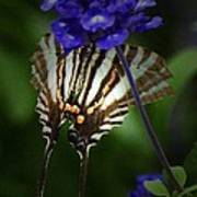 Zebra Swallowtail Poster