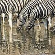 Zebras At Water Hole Poster