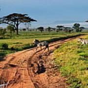 Zebras Cross The Road Poster