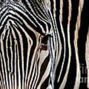 Zebras Face To Face Poster
