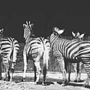 Zebras From Behind Poster