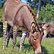 Zedonk Or Zebroid Poster
