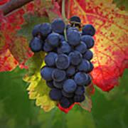 Zinfandel Grapes Poster