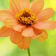 Zinnia On A Brilliant Spring Day Poster