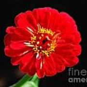 Zinnia Red Flower Floral Decor Macro Accented Edges Digital Art Poster