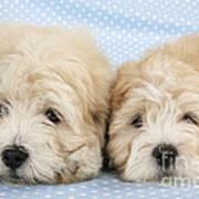 Zuchon Teddy Bear Dogs, Lying Poster