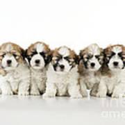 Zuchon Teddy Bear Puppy Dogs Poster