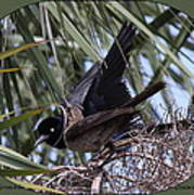 Boat-tailed Grackle - Quiscalus Major Poster