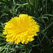 Buttery Single Yellow Flower Poster