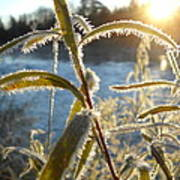 Frost On Willow At Sunrise Poster