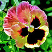 Pink And Yellow Pansy Poster