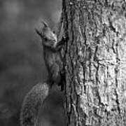 Red Squirrel In Bw Poster
