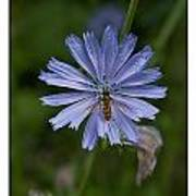 Spring Flower And Hoverfly Poster
