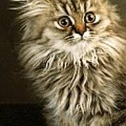 Startled Persian Kitten Poster