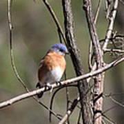 Sucarnoochee River - Bluebird Poster