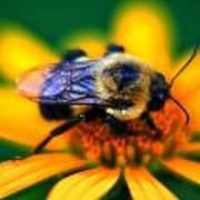 005 Sleeping Bee Series Poster