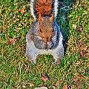 06 Grey Squirrel Sciurus Carolinensis Series Poster