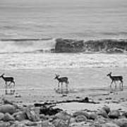 4 Deer In Ocean Black And White Poster