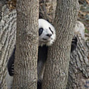 A Baby Panda Plays On A Branch Poster