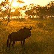 A Backlit Wildebeest Resting Poster