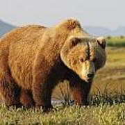 A Brown Grizzly Bear Ursus Arctos Poster