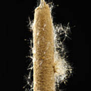 A Cattail Typha Latifolia Disperses Poster