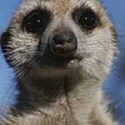 A Close View Of A Meerkat Suricata Poster