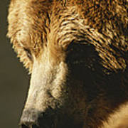A Close View Of The Face Of A Grizzly Poster