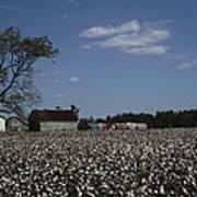 A Cotton Field Surrounds A Small Farm Poster