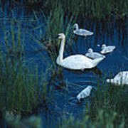 A Family Of Trumpeter Swans Swims Poster
