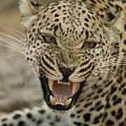 A Female Leopard, Panthera Pardus Poster
