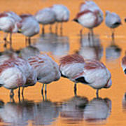A Flock Of Migratory Flamingos Roost Poster
