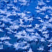 A Flock Of Snow Geese Chen Caerulescens Poster