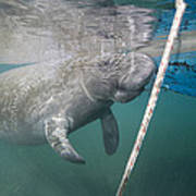 A Manatee Gets Dangerously Close Poster
